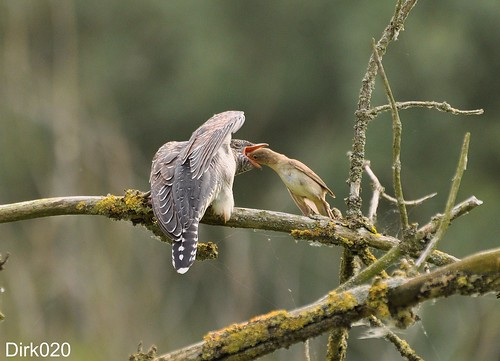The feeding of the Cuckoo chick by an Eurasian Reed Warbler