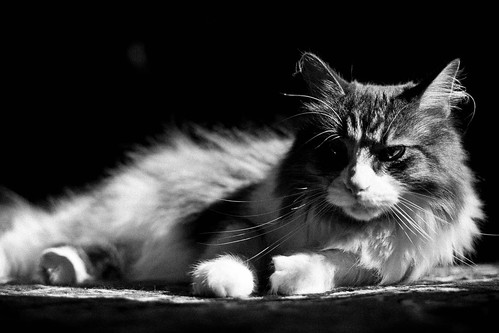 light blackandwhite pet cat sunrise feline grain kitty mainecoon