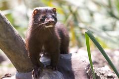 new world monkey(0.0), animal(1.0), mustelidae(1.0), mammal(1.0), fauna(1.0), marten(1.0), polecat(1.0), mink(1.0), wildlife(1.0),