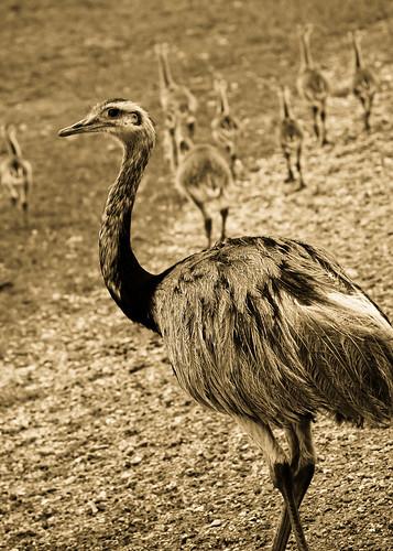 birds louisiana folsom 365 globalwildlifecenter southamericanrhea