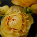 Small photo of Ranunculus