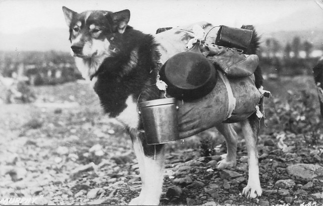Big dog carrying a wide array of objects in a pack
