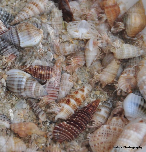 Hermit Crabs Babies