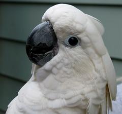 cockatoo(0.0), wing(0.0), african grey(0.0), animal(1.0), parrot(1.0), white(1.0), pet(1.0), sulphur crested cockatoo(1.0), fauna(1.0), close-up(1.0), beak(1.0), bird(1.0),