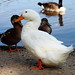 Domesticated Duck - Photo (c) Mr. T in DC, some rights reserved (CC BY-ND)