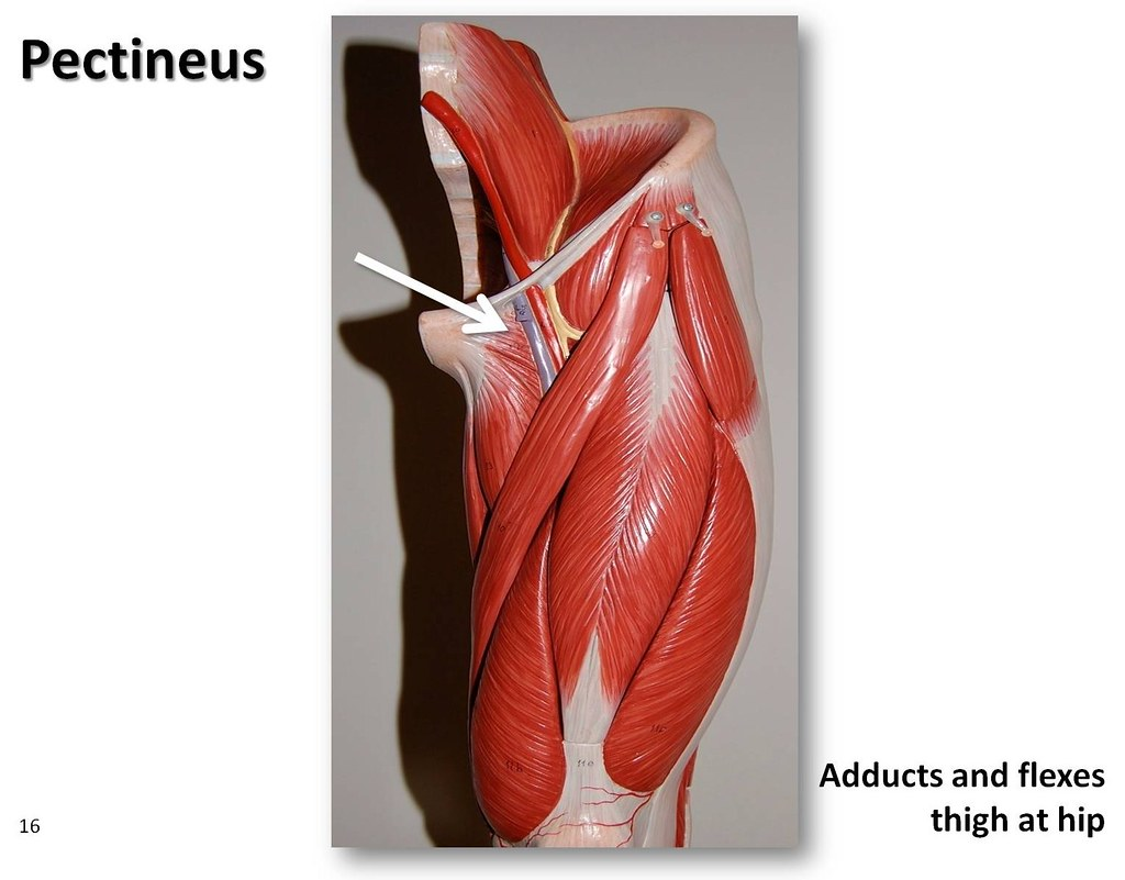 Pectineus Muscles Of The Lower Extremity Anatomy Visual Flickr