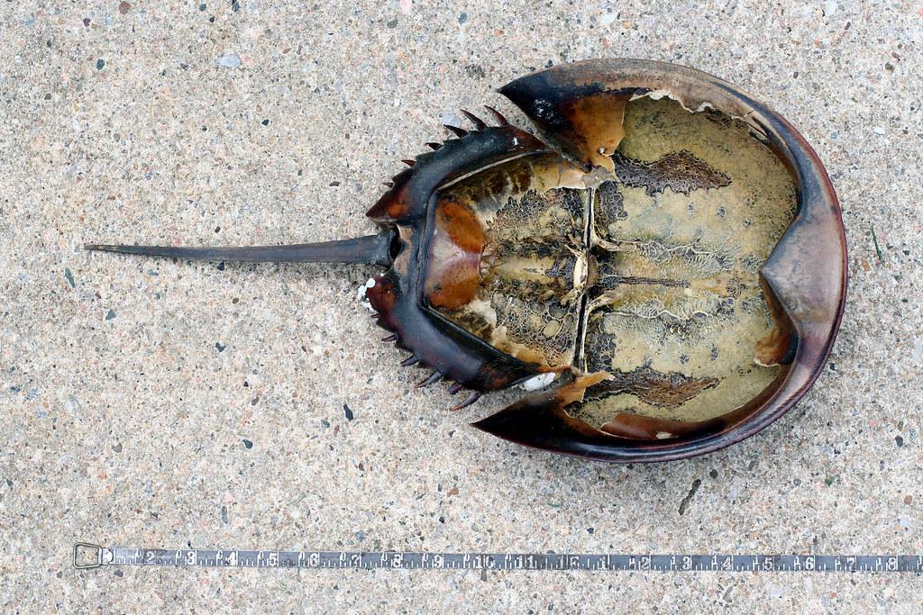 Giant Horseshoe Crab Giant Horseshoe Crab Giant