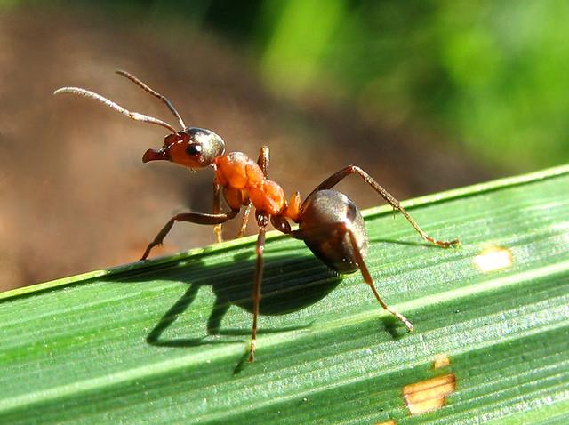 Carpenter Ant on Observation Post - Camponotus Ligniperda