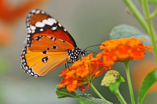 Orange butterfly on orange flowers