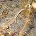 Long-tailed Brush Lizard - Photo (c) Greg Schechter, some rights reserved (CC BY)