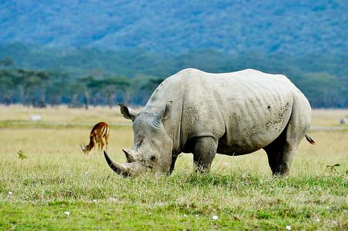 納庫魯白犀牛