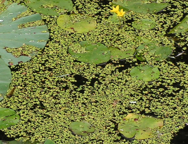 Duckweed in a pond flickr photo sharing for Garden pool duckweed