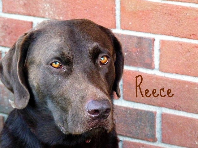 Reece My Baby My Chocolate Lab : ) | Flickr - Photo Sharing!