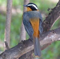 White-browed Robin-Chat 2- Lake Manyara NP