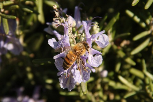 Bee on rosemary flowers