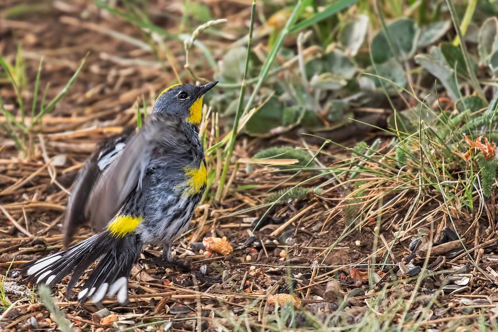Yellow-rumped-Warbler-33-7D2-062517