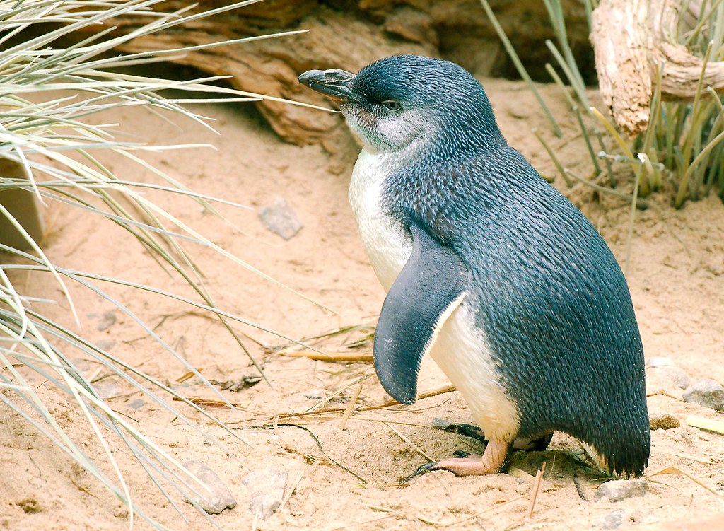 Little Penguin_2