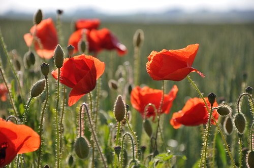 Poppies I by cwasteson