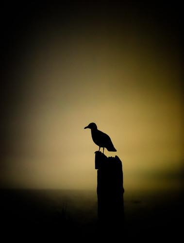 ocean bird beach water silhouette sunrise dark dawn flying wings lowlight seagull flight olympicpeninsula sequim juandefuca strait portwilliams fixedshadows