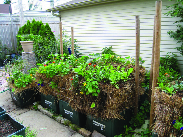 Straw bale garden wide angle B Chudnow's garden