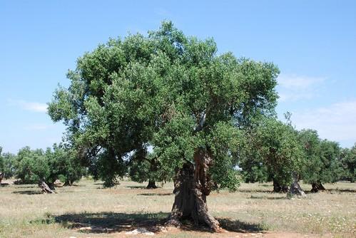 Centenarian olive tree 1