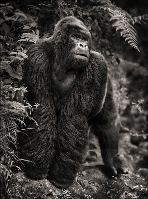 Gorilla On Rock, by Nick Brandt