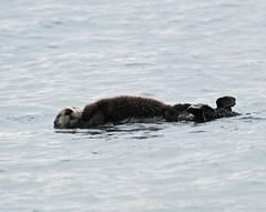 animal, arctic, mustelidae, mammal, sea otter,