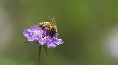 blossom(0.0), nectar(0.0), lycaenid(0.0), arthropod(1.0), pollinator(1.0), animal(1.0), honey bee(1.0), pollen(1.0), flower(1.0), plant(1.0), nature(1.0), invertebrate(1.0), macro photography(1.0), membrane-winged insect(1.0), wildflower(1.0), flora(1.0), fauna(1.0), close-up(1.0), plant stem(1.0), bee(1.0), bumblebee(1.0), petal(1.0),
