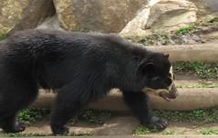 animal, american black bear, mammal, grizzly bear, fauna, sloth bear, bear,