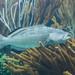 black grouper Mycteroperca bonaci by brian.gratwicke