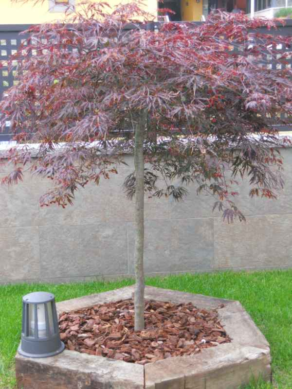 Acer palmatum.. v 1