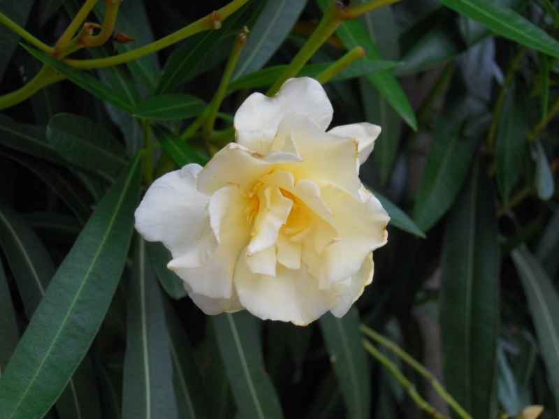 Nerium oleander 'Luteum plenum' 1