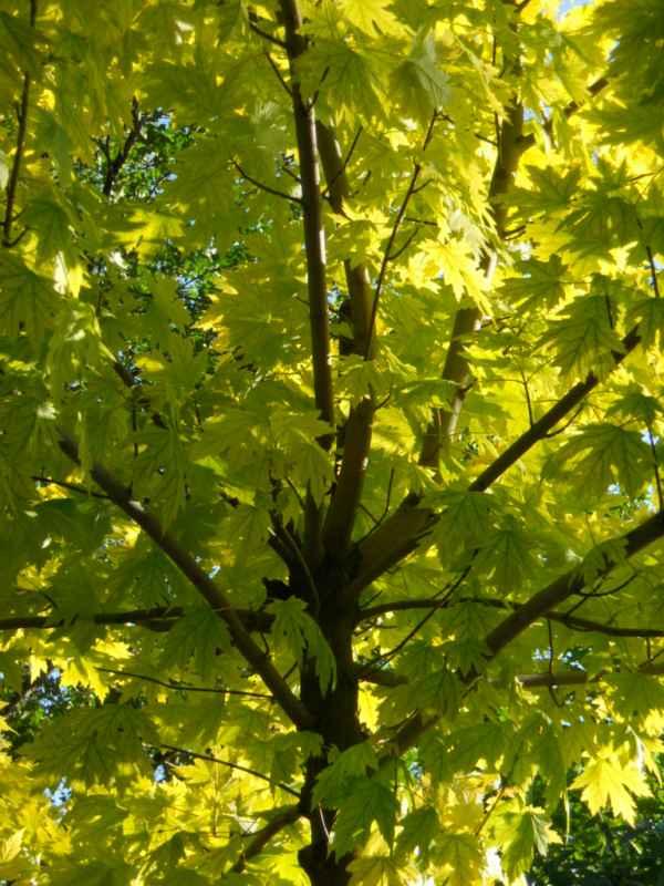 Acer pseudoplatanus 'Brillantissimum' v 5