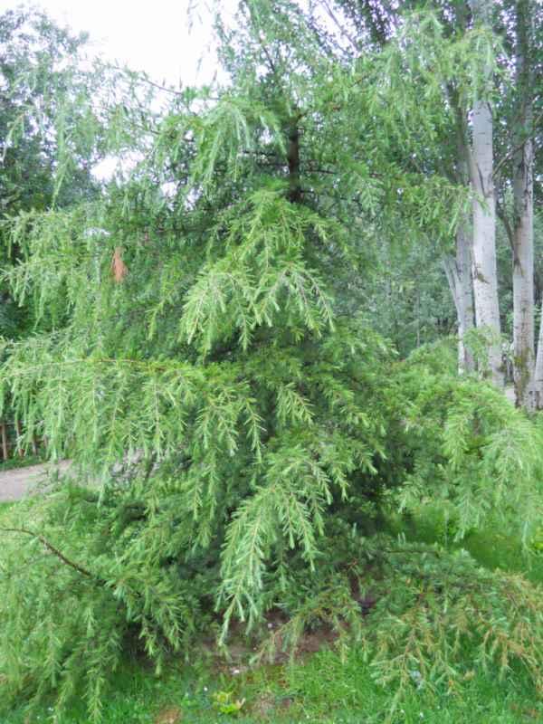 Picea breweriana v 4