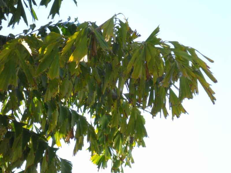 Caryota maxima 'Blume' hoja 2
