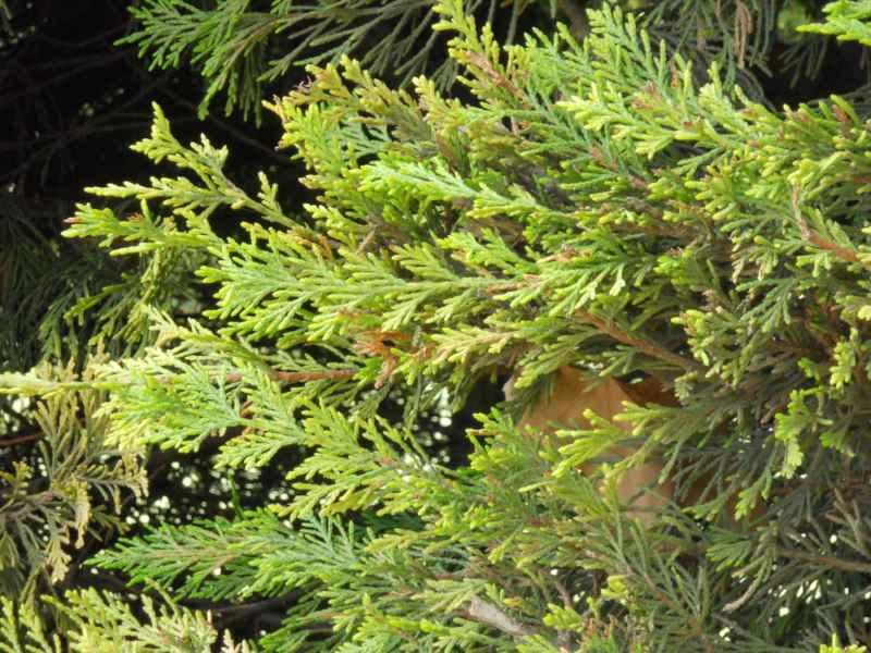 Cupressocyparis leylandii 'Castlewelland Gold' hoja 4