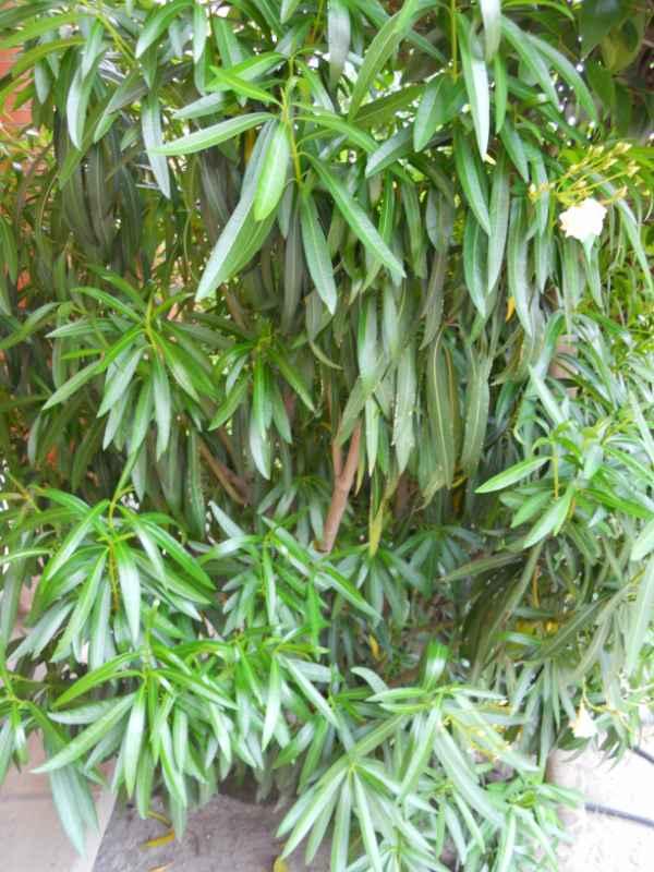 Nerium oleander 'Luteum plenum' v 3