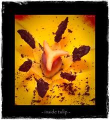 - inside tulip -
