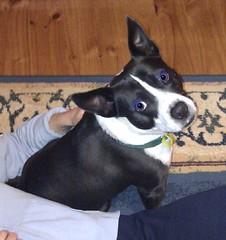 dog breed, animal, dog, pet, mammal, boston terrier, basenji, terrier,