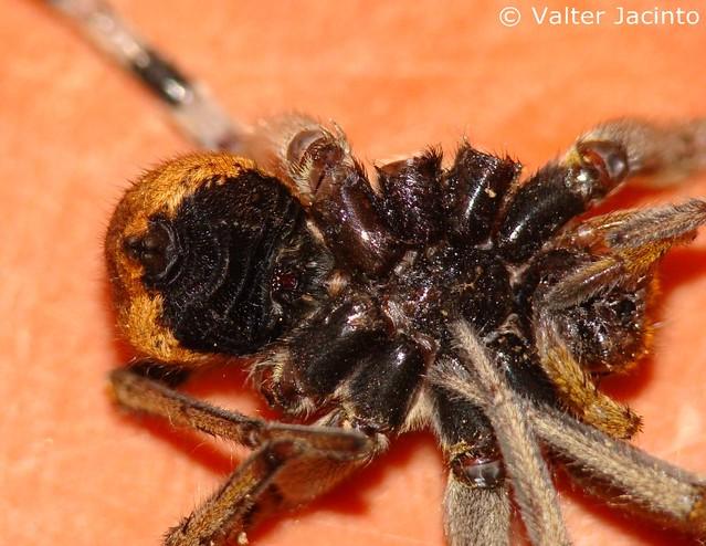 tar226ntulaib233rica wolf spider lycosa fasciiventris
