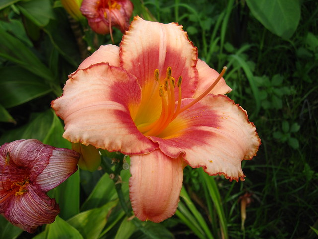 Daylily (Hemerocallis) 'Strawberry Candy' blooms in the Monocot Border. Photo by Rebecca Bullene.