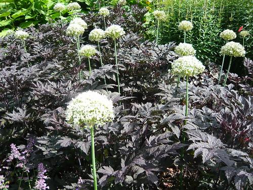 actaea simplex autopurpurea gardeners tips. Black Bedroom Furniture Sets. Home Design Ideas