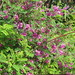 Small photo of Indigofera