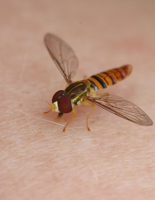 Flying insect that looks like a bee 11