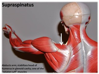 Supraspinatus - Muscles of the Upper Extremity Visual Atlas, page 42