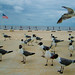 Small photo of American birds