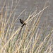 Small photo of Yellow-winged Blackbird (Agelasticus thilius) female