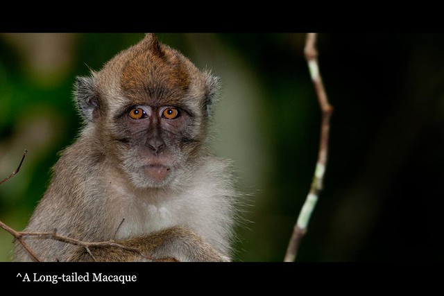 50_longtailedMacaque
