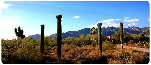 Tucson foothills cactei