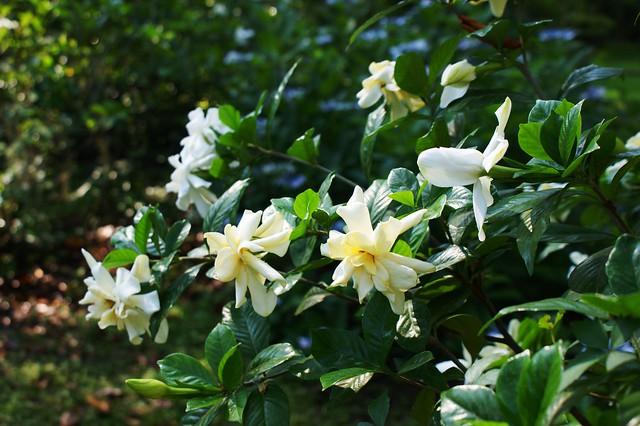 Gardenia jasminoides (3)